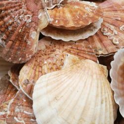 Coquille Saint-Jacques sans corail