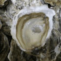 Huîtres La Spéciale Lambert N°3