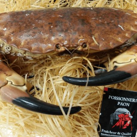 Crabe Tourteau Vivant