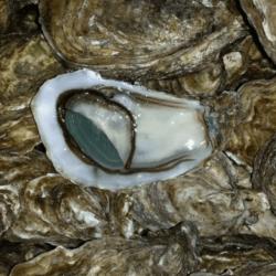 Huîtres Emeraude Lambert N°3